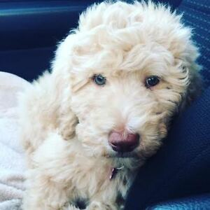 GOLDENDOODLE X STANDARD POODLE: READY NOV 4 - 100% NO SHED