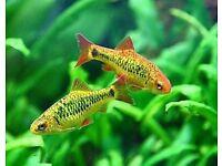 Tropical fish golden barb