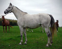 Top quality mare for sale by breeder
