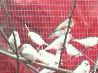 Zebra finches for sale £5.00 single or £8.00 pair