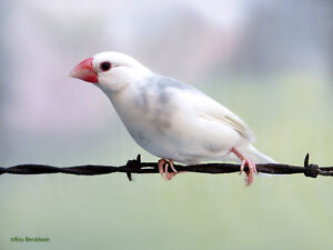 Looking for Female Java Sparrow, (finch)