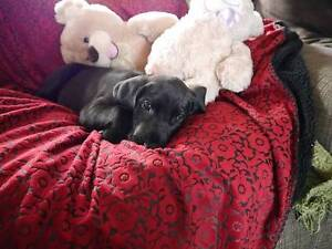 Purebred Black Female Great dane  pup Mudgee Mudgee Area Preview