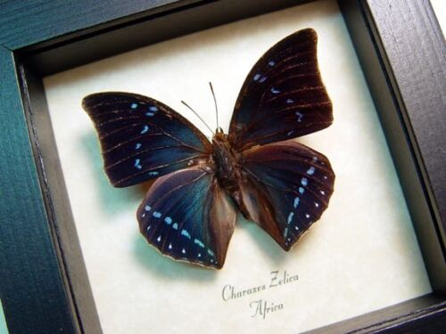 Real Framed Charaxes Zelica Beautiful Blue The Zelica Untailed Butterfly 683