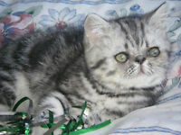 EXOTIC SHORTHAIR KITTENS AVAILABLE SOON!  REGISTERED.
