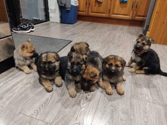 For Sale German Shepherd Puppies In Alness Highland Gumtree