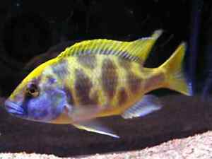 Looking for African Malawi Cichlids