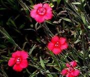 Dianthus Plugs