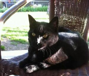 """Adult Female Cat - Domestic Short Hair-black: """"Meow Meow"""""""