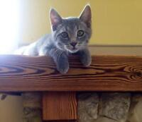 Young Female  - Domestic Short Hair - gray and white