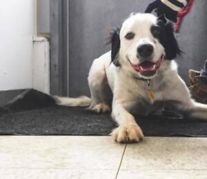 """Adult Male Dog - Spaniel-Labrador Retriever: """"Sam"""""""