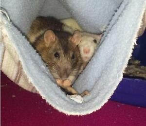 "Young Female Small & Furry - Rat: ""Pipper & Poe"""