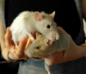 "Young Male Small & Furry - Rat: ""Stuart & Charlie"""