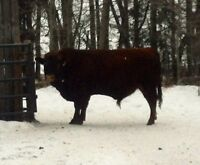 2 Year Old, Forage Developed, Registered Bulls