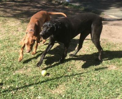 FREE - GSP x Great Dane - to give away as a pair Graceville Brisbane South West Preview