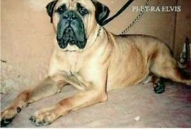Alano mastiff import( Spanish rare