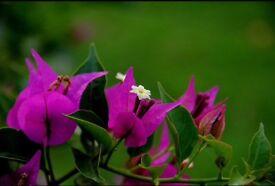 Bougainvillea plants for sale