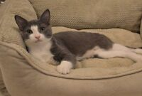 16 Week Old Rescue Kitten - Neutered/Vaccinated/Dewormed