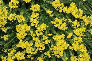Margherita gialla euryops verde pianta ornamentale for Margherita pianta