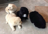 Puppies Great Pyrenees/collie/lab