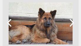Full pedigree German shepherd. Long haird/straight back. Black/Tan.