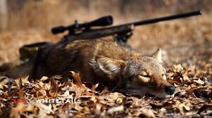 Coyote Removal London Ontario image 1