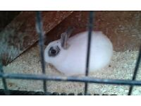 Male Dwarf Rabbit