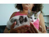 Male kitten 9 weeks old
