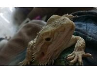 Female bearded dragon, with tank