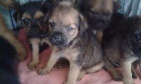 Border terrier puppies for salr