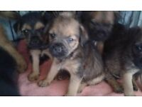 Border terrier puppies for salr