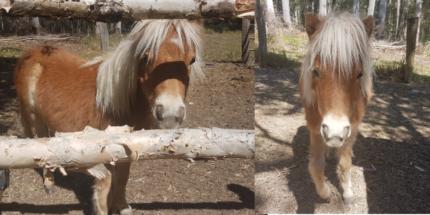 "mini pony ""Epona"" 11 months old"
