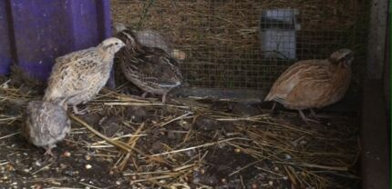 Jap quail The Oaks Wollondilly Area Preview