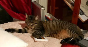 Lost spotted tabby with rusty brown belly, named Dewey.