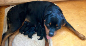 German Rottweiller Puppy's