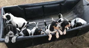 Bluetick Pups for Sale
