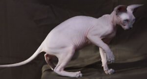Sphynx CCA registered female 4 months old sale / exchange