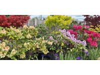 Spectacular Established Rhododendrons 7/8ft height, got various sizes