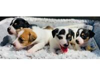 Miniature Jack Russel Puppies