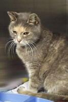 """Adult Female Cat - Domestic Short Hair: """"Frosty"""""""