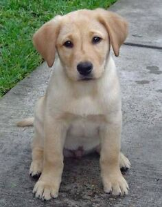 WANTING TO BUY- Male Blonde Labrador Puppy Officer Cardinia Area Preview