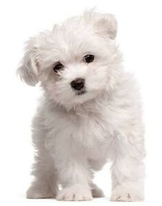 Affordable Maltese x shitzu puppies Adelaide CBD Adelaide City Preview