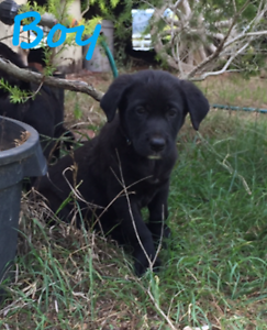 LAB X PUPPIES FOR SALE