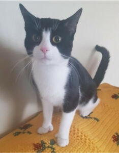 Missing Black and White Cat in Bedford