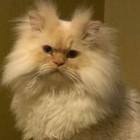 Lost Cat : Ragdoll