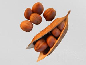 Moreton Bay Chestnut/Magic Beans  Castanospermum australe x10