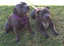 Blue Staffordshire bull terrier puppies blue English Staffy Baldivis Rockingham Area Preview