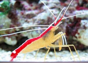 10 cleaner shrimp A vendre :)  15$ ch !!!
