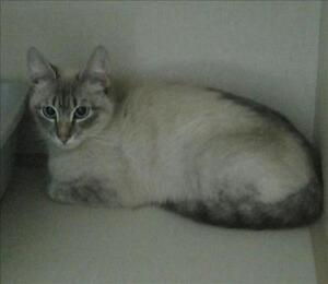 "Young Female Cat - Domestic Short Hair: ""Spirit"""
