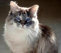 "Young Female Cat - Ragdoll: ""Willow"""