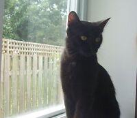 "Adult Female Cat - American Shorthair: ""ZOE"""